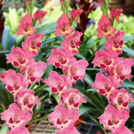 Gladiolus Cindy