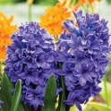 Hyacinth Delf Blue