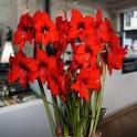Amaryllis Red Garden