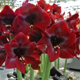 Amaryllis Royal Velvet