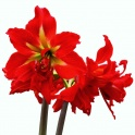 Amaryllis Samburu red double flower