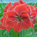 Amaryllis Magical Touch red flowers with white edge