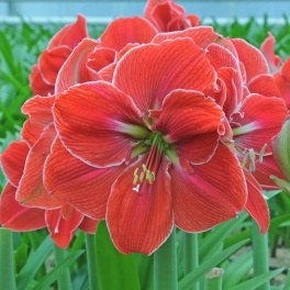 Amaryllis Magical Touch XL
