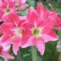 Amaryllis Neon pink trumpet shape
