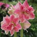 Amaryllis Sweet Nymph double flower
