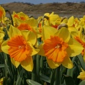 Daffodil Pride of Lions