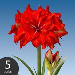 Amaryllis Double Circus 5 bulbs
