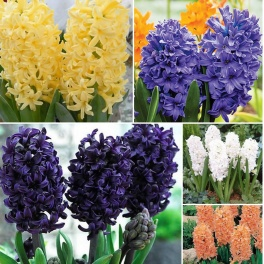 Hyacinth Value Pack