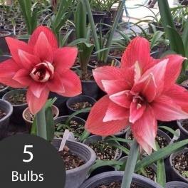 Amaryllis Double Cherry 5 bulbs