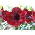 Amaryllis Mandela Deep Red flowers