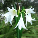 Crinum Powellii Alba White Fragrant Flowers