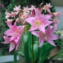 Amarcrinum Howardii Pink Fragrant Flowers