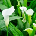 Calla Lily Sapporo White for cut flower
