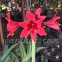 Amaryllis Carina Trumpet Red flowers