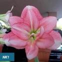 Amaryllis NK1 Pink double flowers