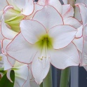 Amaryllis Picotee white with red eyeliner