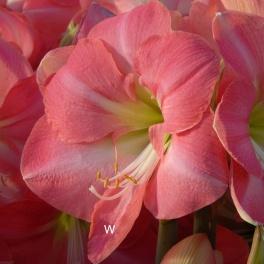 Amaryllis Pink Princess