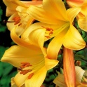 Lily Golden Splendor Golden flowers 3 bulbs