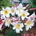 Lily Regale white flowers with fragrant 3 bulbs