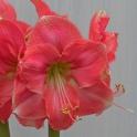 Amaryllis Rosalie sweet pink flowers