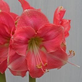 Amaryllis Rosalie