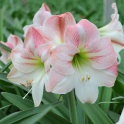 Amaryllis Apple Blossom XL