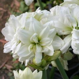 Amaryllis Mini White