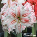 Amaryllis Philadelphia double flowers