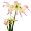 Amaryllis Thai Thai exotic flower shape with two tone color