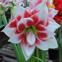 Amaryllis Elvas double flowers
