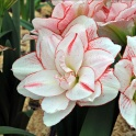 Amaryllis Striped Amadeus XL double flowers