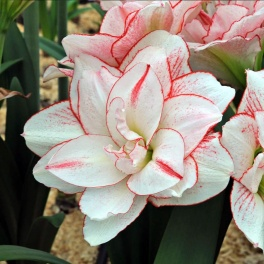 Amaryllis  Striped Amadeus