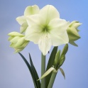 Amaryllis Luna huge green flowers