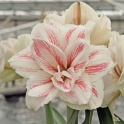 Amaryllis Aquaro XL double flowers