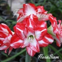 Amaryllis Flaming Peacock red double flowers