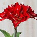 Amaryllis Happy Nymph red double flowers
