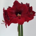 Amaryllis Benfica Deep Red flowers