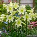 Amaryllis Sonatini Marrakech green color