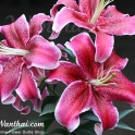 Lily Stargazer pink and white bright flowers