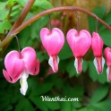 Dicentra Pink the heart shape flowers