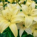 Lily Easy Vanilla creamy yellow flowers