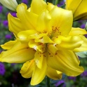 Lily Fata Morgana golden double flowers