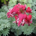 Dicentra King of Heart the red heart shape flowers