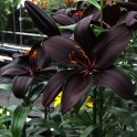 Lily Mascara nearly black with fragrant