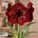 Amaryllis Grand Diva Deep Red flowers