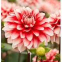 Dahlia Larrys Love white and red flowers