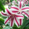 Crinum Cintho Fragrant Flowers