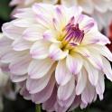Dahlia Monet sweet purple white flowers