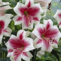 Lily Triumphator two tone color flowers with fragrant