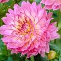 Dahlia Gallery Bellini pink flowers